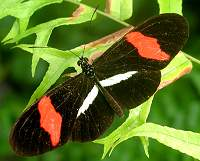 "Heliconius erato: The ""postman"""